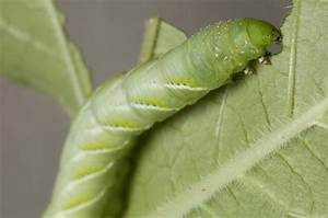 No Microbes  No Problem For Caterpillars