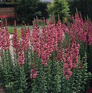 Snapdragon Flowers Plants