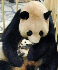 Baby Pandas with Their Mom