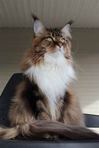 Classic Brown Tabby with white from Stormytown Maine Coons ...
