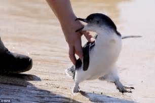 penguins wild into penguin encouragement released curl north moment beach pix were