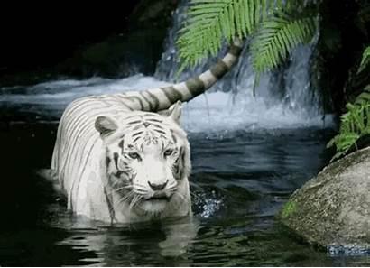 Wild Animals Tiger Nature Gifs Reddit Water