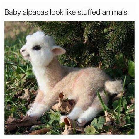 alpaca memes      funniest