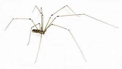 Daddy Legs Spider Spiders Leg Background Control