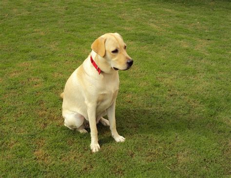 Golden Labrador (golden Retriever X Lab) Info, Temperament