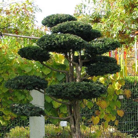 Garten Gestalten Mit Eiben by Taxus Baccata Repandens Mit Ca 2m H 246 He Kissen Eibe
