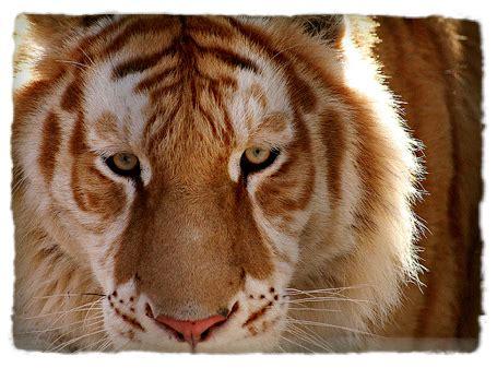 Spy Animals Golden Tabby Tigers