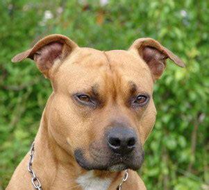staffordshire bullterrier charakter wesen hunde fande