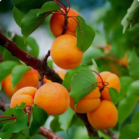 Apricot Seeds, Manchurian Apricot - Heirloom Untreated NON ...