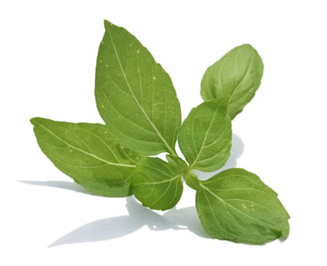 basil leaves pics goodness of basil leaves better health lab
