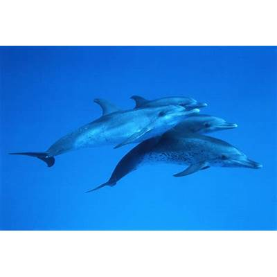 Atlantic Spotted Dolphin photos