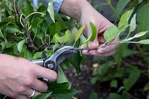 How To Prune Apple Trees In Summer