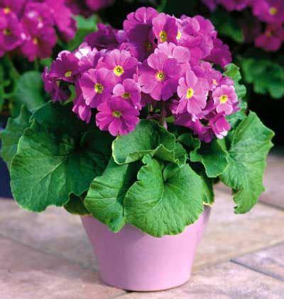 Planta Primavera de interior Primula Obconica