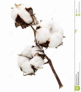 Bouquet Fleur De Coton : fleur de coton photo stock image du texture fleur brindille 19795726 ~ Teatrodelosmanantiales.com Idées de Décoration