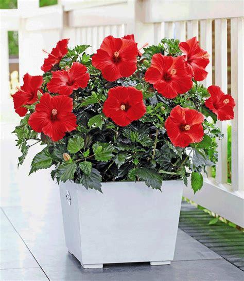 Blühende Zimmerpflanzen Pflegeleicht 13 pflegeleichte bl 252 hende zimmerpflanzen