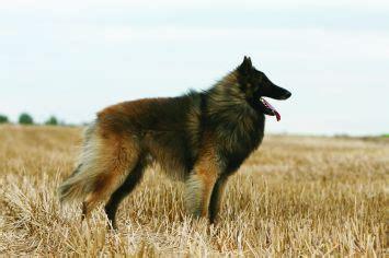 belgian shepherd tervuren dog breed profile petfinder