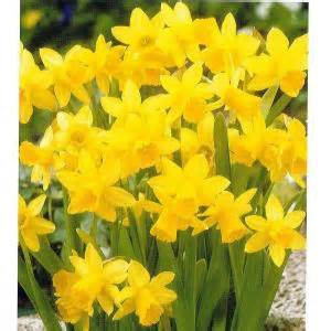 daffodil tete a tete dormant bulbs 20 pack 70146 the