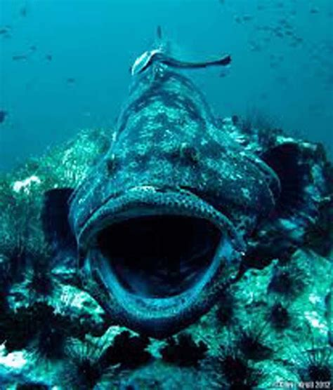 ocean grouper giant proof omg terrifying footage place awful source desktop