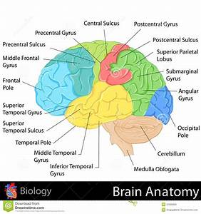 Brain Anatomy Stock Illustration  Illustration Of Body