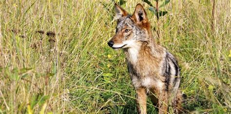coyote hunting wildlife nj massachusetts contests rabies animals truro state proposed officials propose banning masslive attacks park reformer ma