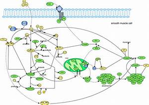 Computational Insights On The Competing Effects Of Nitric Oxide In Regulating Apoptosis  Model