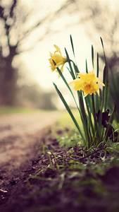 Wallpaper Daffodils, 5k, 4k wallpaper, flowers, spring