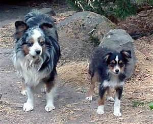 Mini Australian Shepherd Compared To Standard
