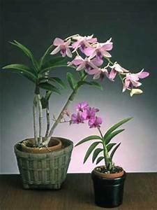 Novice Dendrobium Culture Sheet