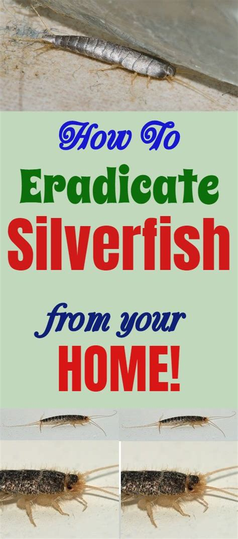 How To Get Rid Of Fishmoths In Cupboards by Get Rid Of Silverfish From Your Home With These Awesome