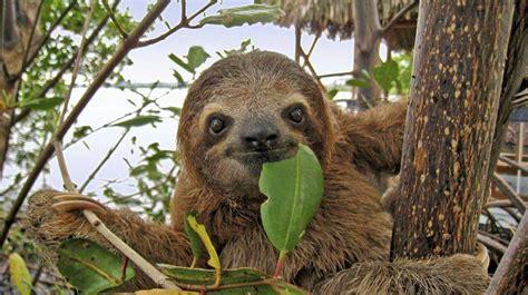Tropical Rainforest Animals Sloth