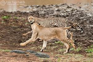 2 lions, 1 cheetah - who wins? - Africa Geographic
