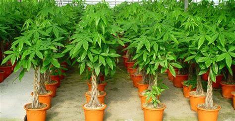 tanaman pembawa keberuntungan pekarangan rumahmu