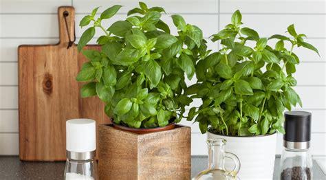 plante pour cuisine comment faire pousser ses plantes aromatiques dans sa