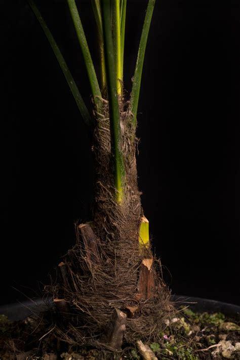 winterharte hanfpalme  italia trachycarpus fortunei