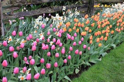 plant tulip bulbs in fall for a colorful garden