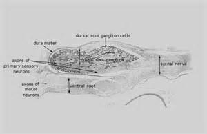 Hls   Nervous Tissue And Neuromuscular Junction  Dorsal