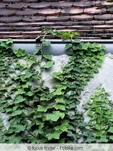 Efeu Als Zimmerpflanze : gemeiner efeu hedera helix pflege vermehrung und als zimmerpflanze halten ~ Indierocktalk.com Haus und Dekorationen