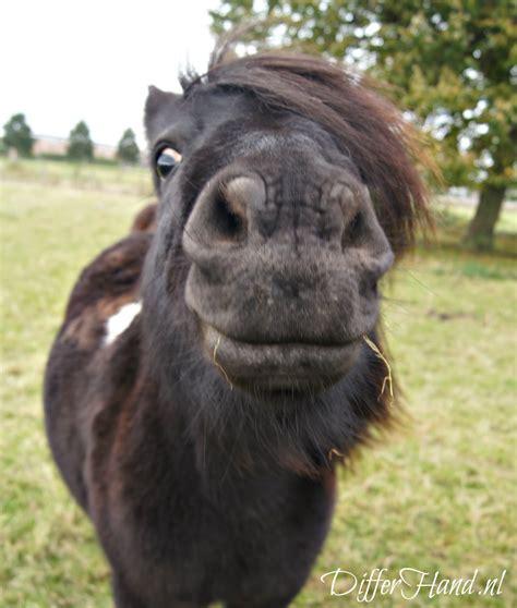 shetlander paardenrassen nederlandsepaardenblogjouwwebnl