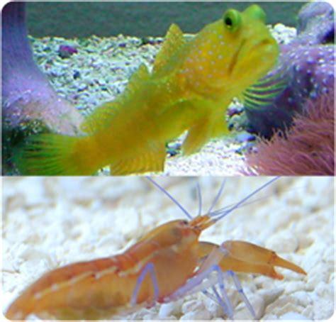 yellow watchman goby pistol shrimp pair cryptocentrus