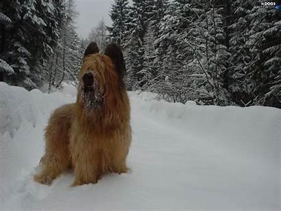 Briard Winter Dog French Shepherd Christmas Snow