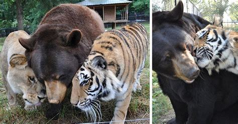 bear lion  tiger brothers havent left