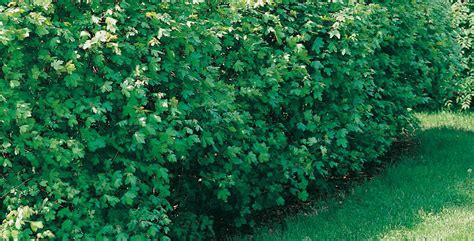 arbusti ornamentali da giardino arbusti da siepe come scegliere e capire qual 232 pi 249 adatt