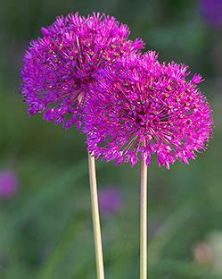 allium purple sensation for sale buy for 163 4 99