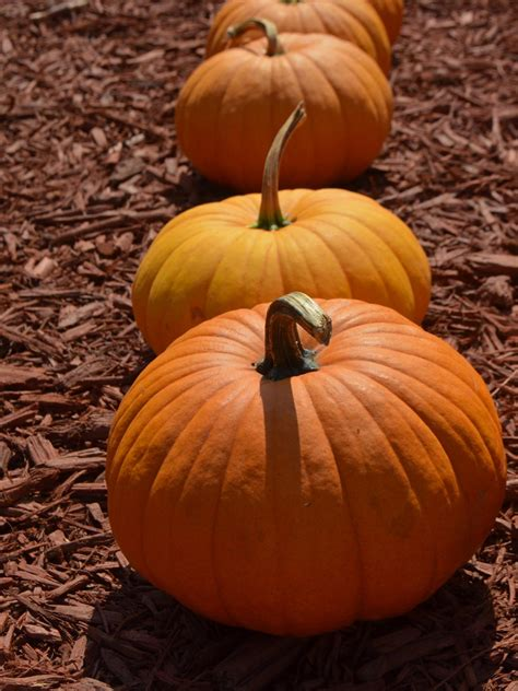 pumpkin the how do pumpkins grow hgtv
