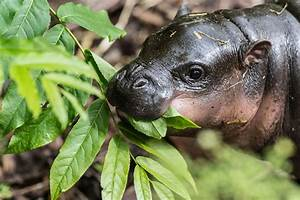 Newborn Pygmy Hippo. Enough Said. | zooborns | Earth Touch ...