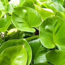 Pflanzen Für Gute Raumluft : raumluftverbesserung durch pflanzen nat rlich die ~ A.2002-acura-tl-radio.info Haus und Dekorationen