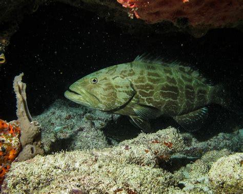 fish predatory coral caribbean reefs predators overfishing grouper study mostly absent deserted due biologicaldiversity reef fishing predator blame idyllic marine