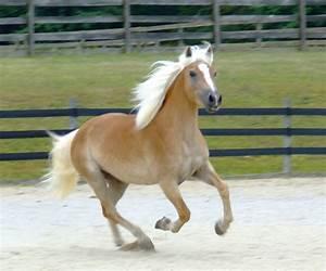 Wonderful Haflinger Horse – WeNeedFun