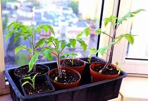 Tomaten Selber Ziehen : die besten 25 tomaten pflanzen ideen auf pinterest tomaten anbauen tomatenpflanzen und ~ Whattoseeinmadrid.com Haus und Dekorationen