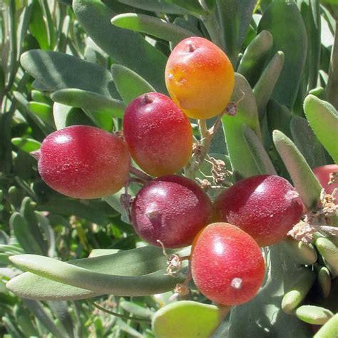 Australian Seed  Nitraria Billardierei